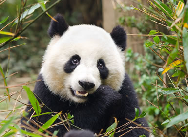 China con osos panda A Fondo