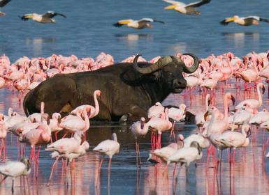 Viajes Kenia 2019-2020: Safari Nakuru, Masai Mara, Naivasha y Amboseli Sopa Lodges